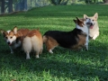 Queen Mary-Corgis-FS-7